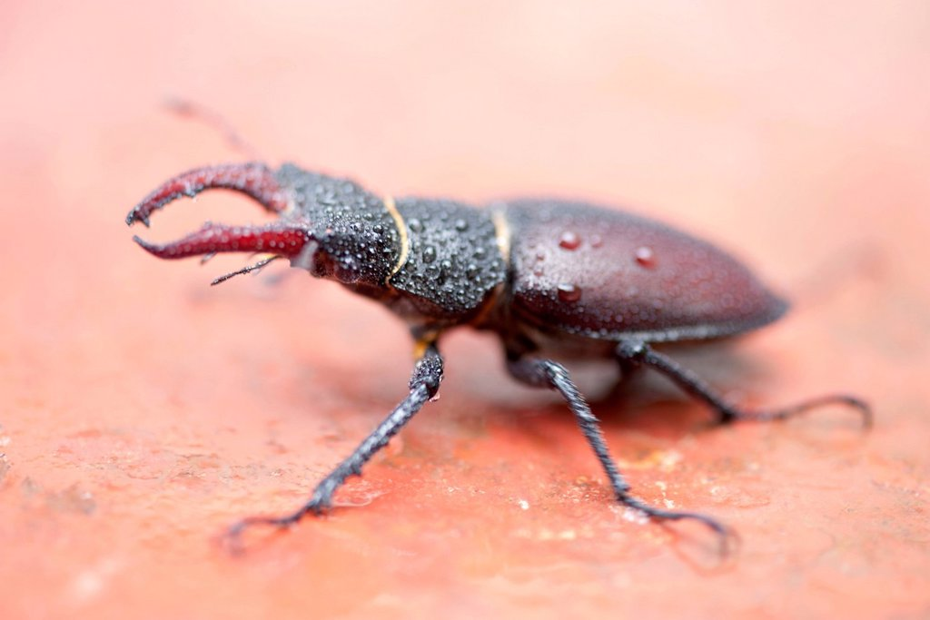 Stock Photo: 1747R-18556 Stag beetle