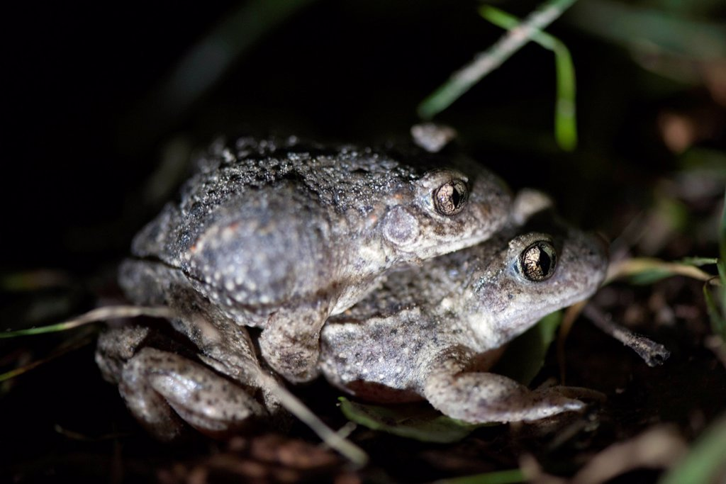 Toads mating : Stock Photo