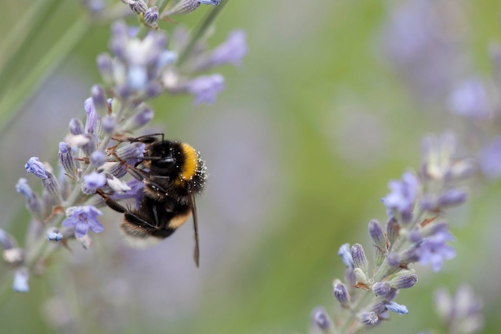 Stock Photo: 1747R-18607 Bumblebee perching on lavender flowers