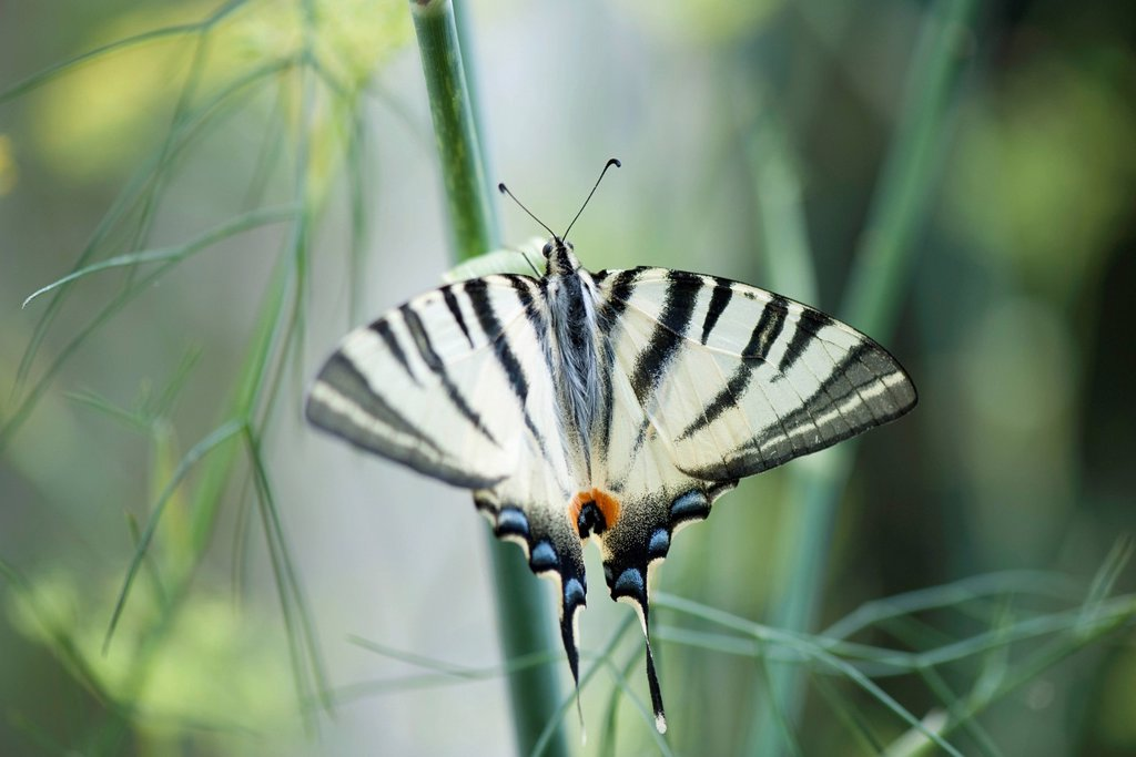 Stock Photo: 1747R-18611 Zebra swallowtail butterfly