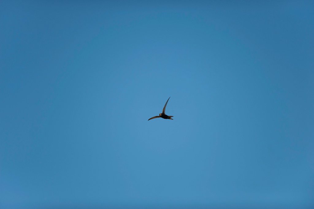 Stock Photo: 1747R-18619 Bird flying in blue sky