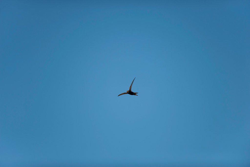 Bird flying in blue sky : Stock Photo