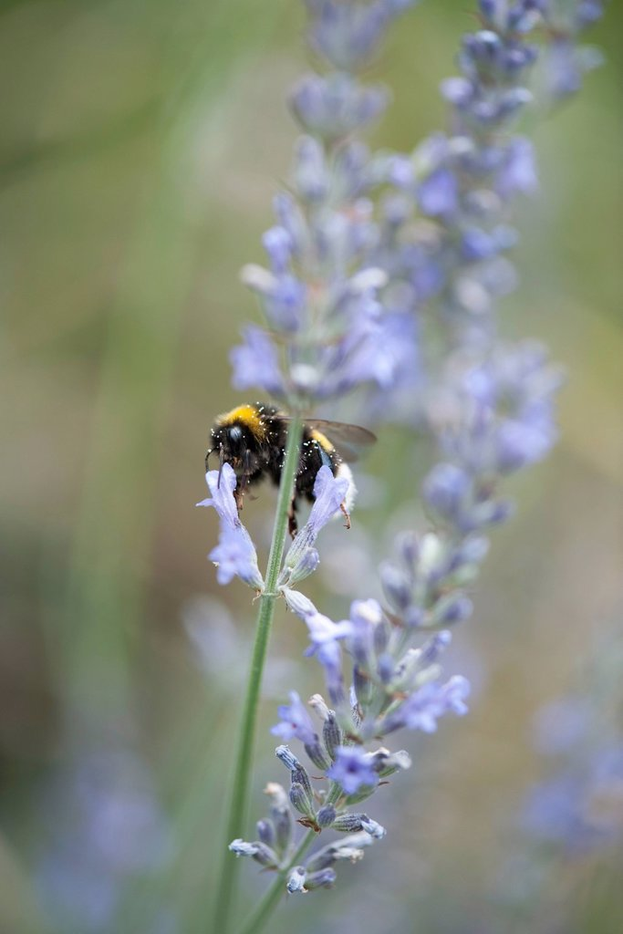 Stock Photo: 1747R-18620 Bumblebee on lavender flowers