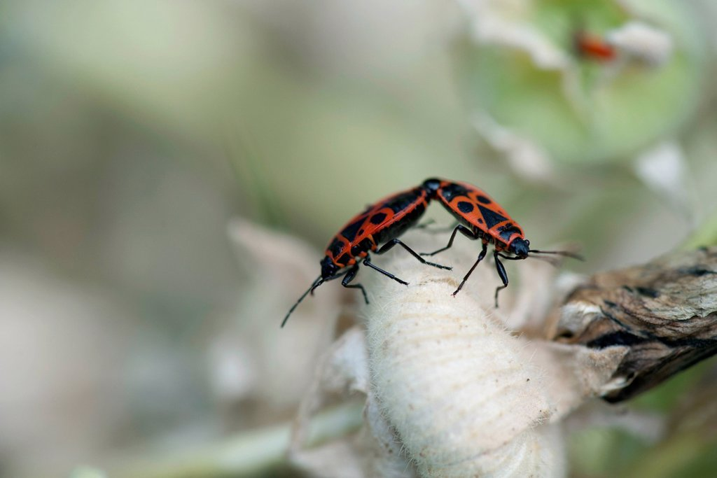 Stock Photo: 1747R-18622 Mating firebugs Pyrrhocoris apterus