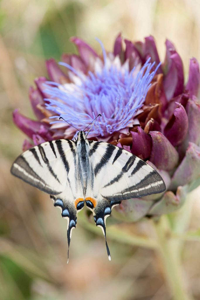 Stock Photo: 1747R-18623 Zebra swallowtail butterfly flying over artichoke flower