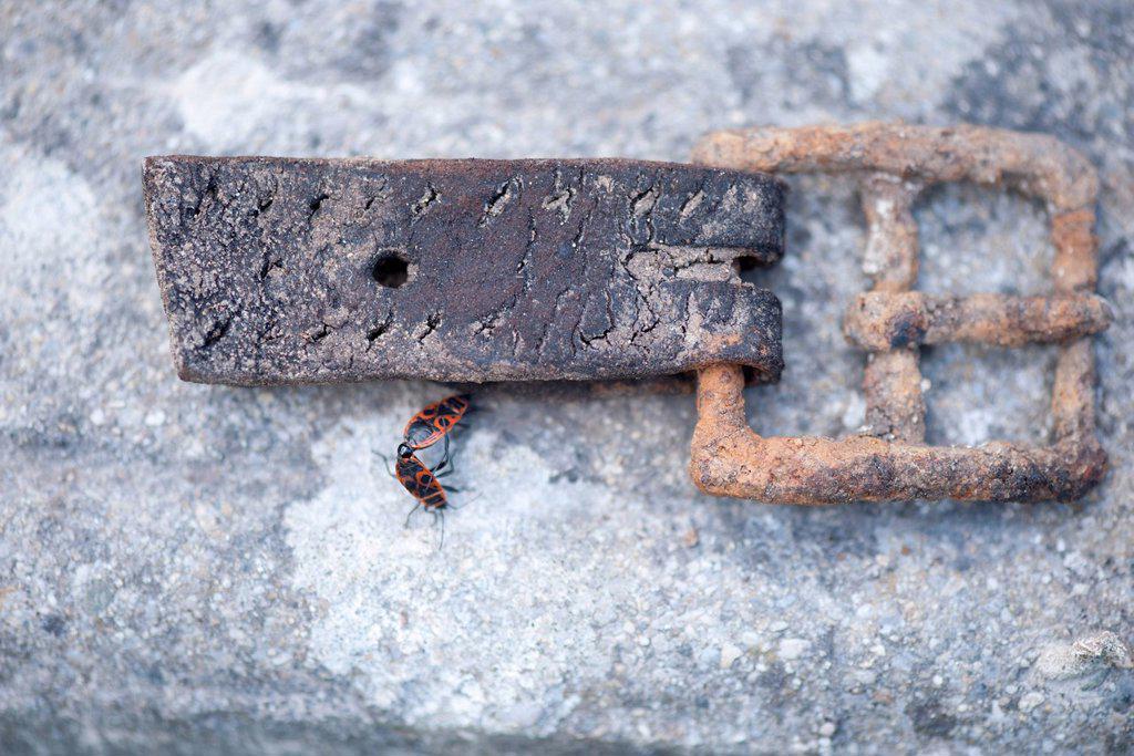 Stock Photo: 1747R-18638 Firebugs mating