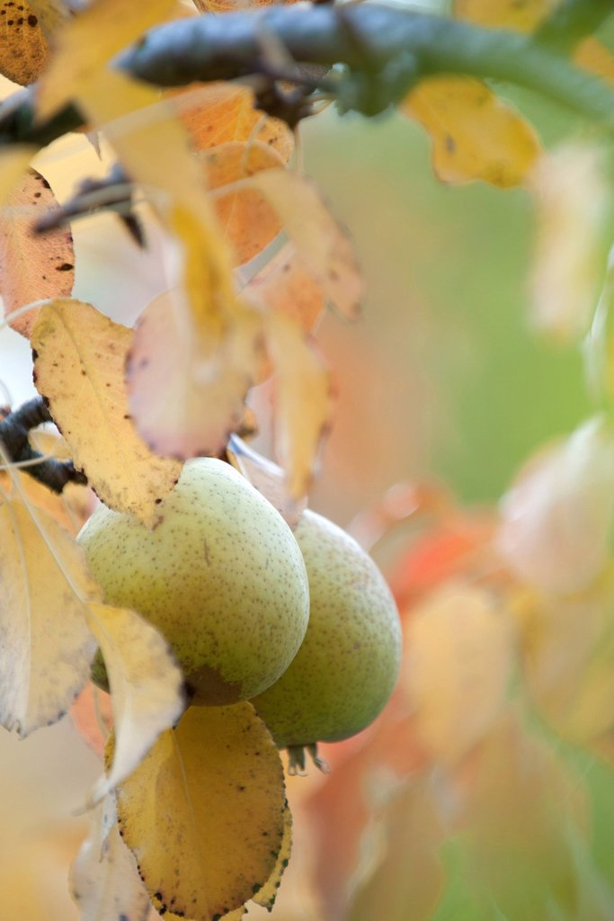 Stock Photo: 1747R-18639 Pears growing on tree