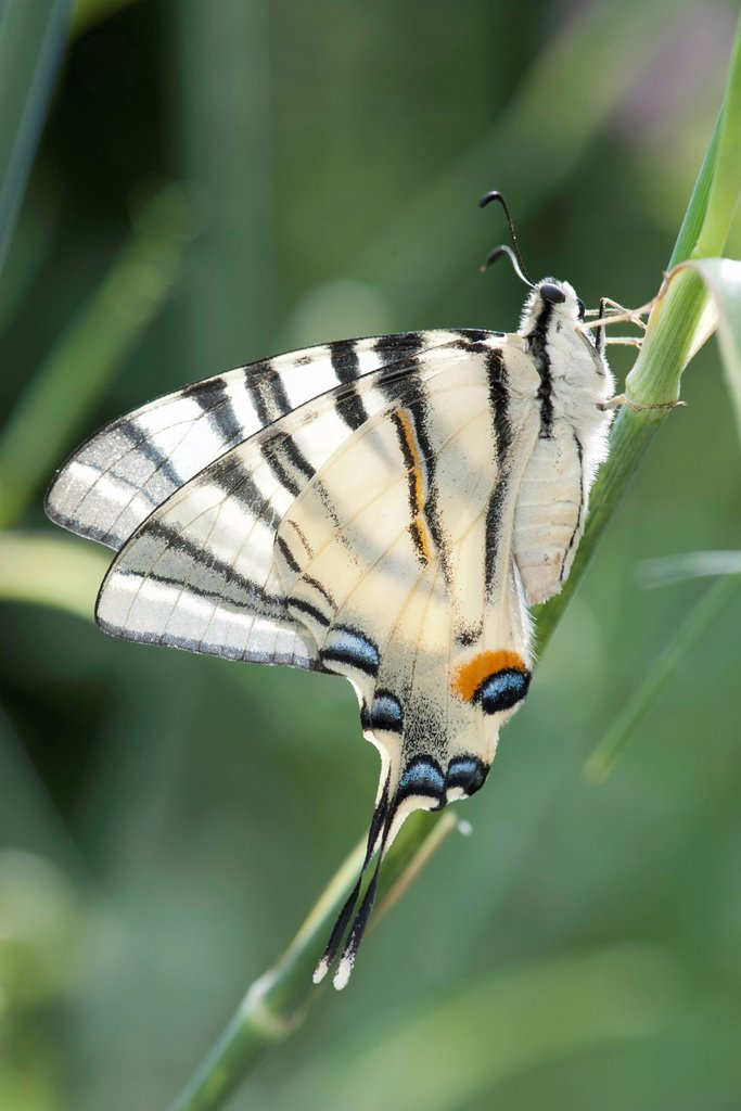 Zebra swallowtail butterfly : Stock Photo