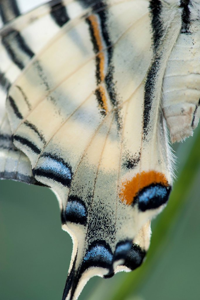 Stock Photo: 1747R-18646 Wings of Zebra swallowtail butterfly