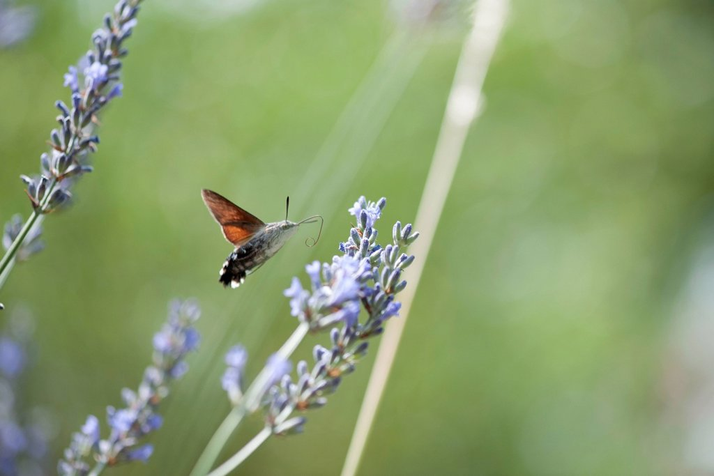 Stock Photo: 1747R-18650 Sphingidae flying among flowers