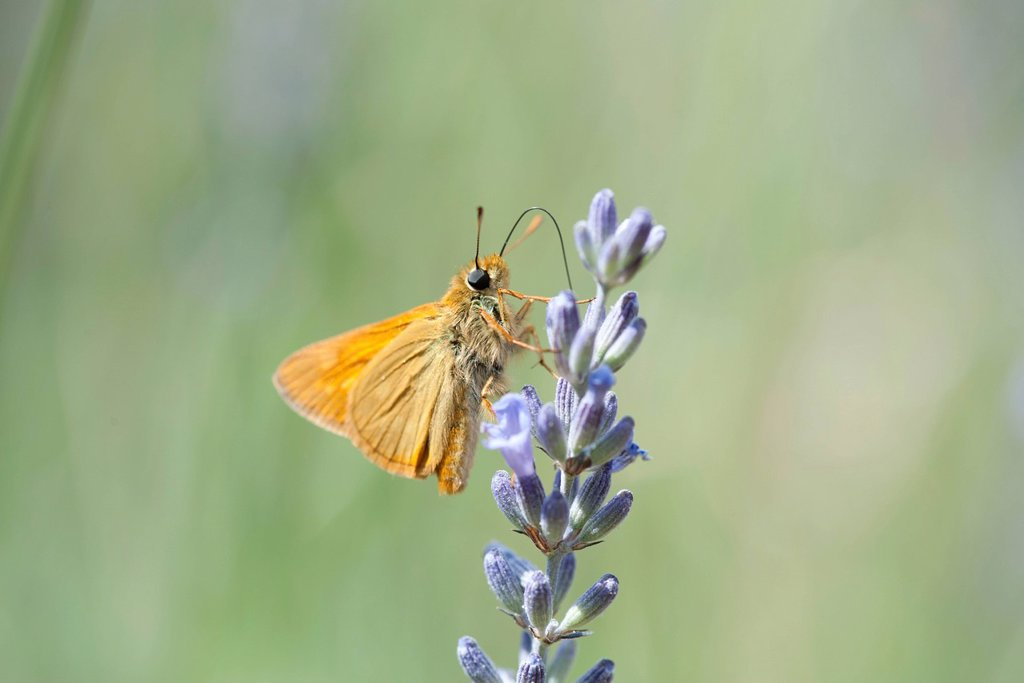 Stock Photo: 1747R-18654 Skipper butterfly on lavender flowers