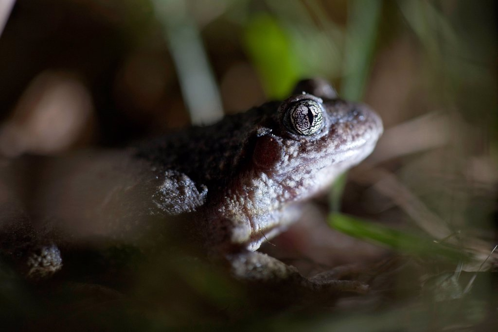Stock Photo: 1747R-18661 Toad