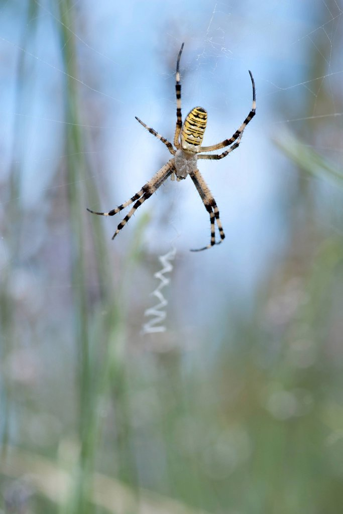 Wasp spider Argiope bruennichi : Stock Photo