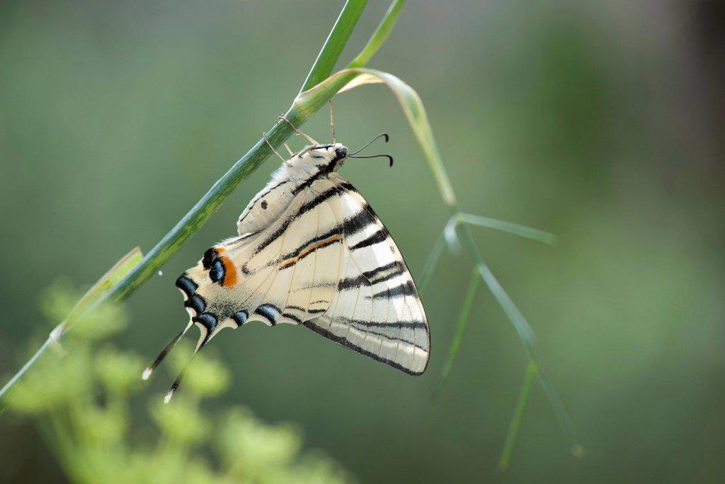 Stock Photo: 1747R-18672 Zebra swallowtail butterfly
