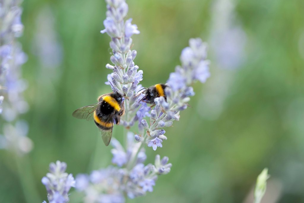 Bumblebees perching on lavender flowers : Stock Photo