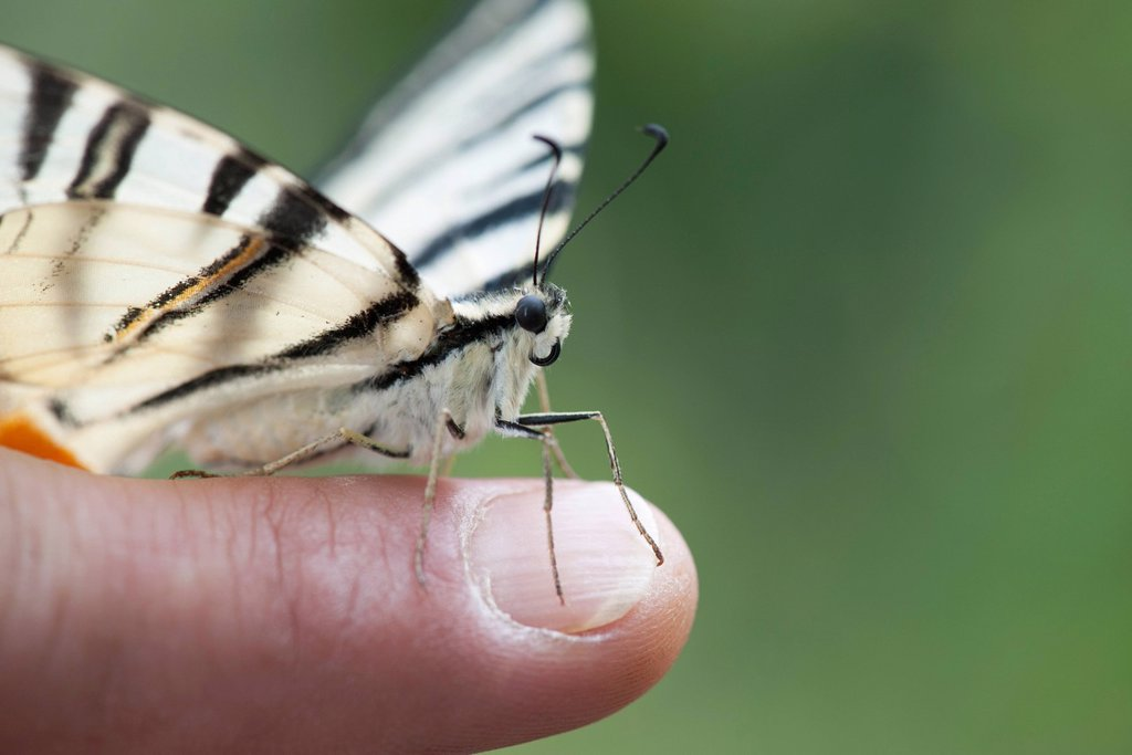 Stock Photo: 1747R-18674 Zebra swallowtail butterfly perching on person´s finger, cropped