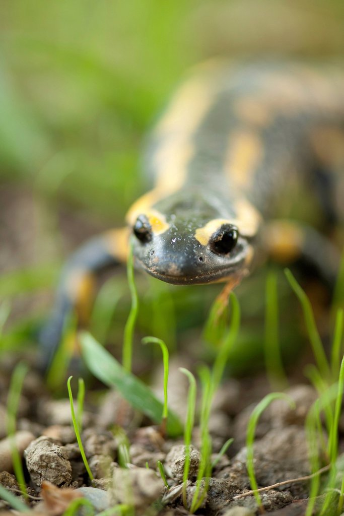 Stock Photo: 1747R-18699 Fire salamander Salamandra salamandra