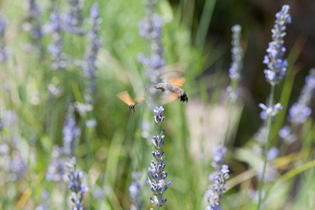 Sphingidae flying among flowers : Stock Photo