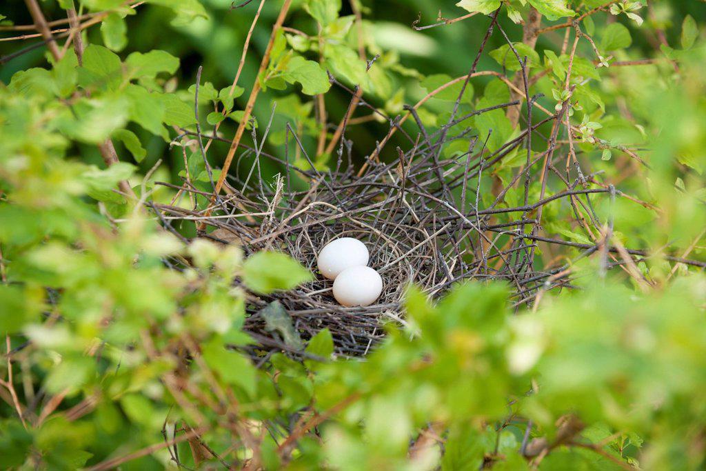 Stock Photo: 1747R-18721 Eggs in bird nest