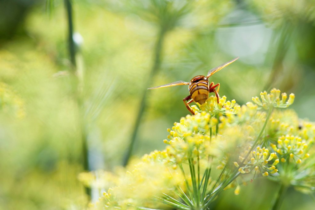 Wasp pollinating fennel flowers : Stock Photo