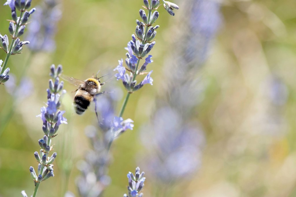 Bumblebee flying among lavender flowers : Stock Photo