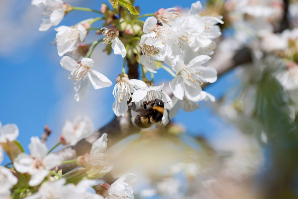 Stock Photo: 1747R-18763 Bumblebee on cherry blossom