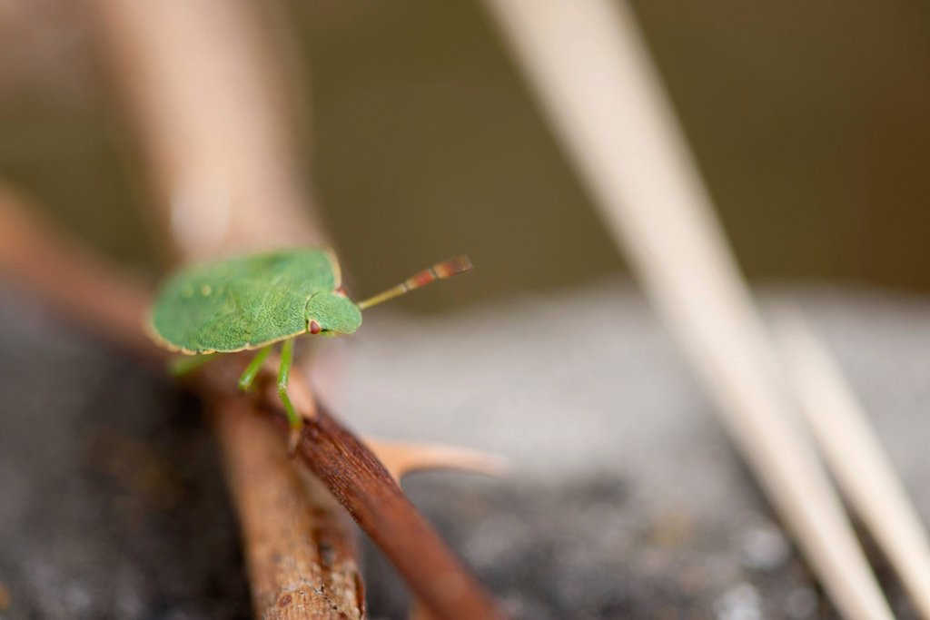 Green shield bug Palomena prasina : Stock Photo