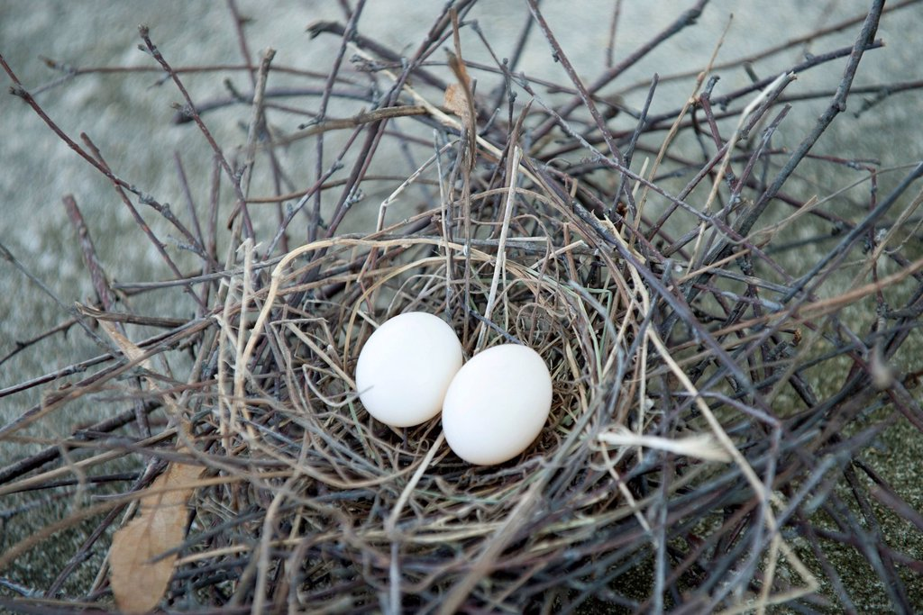 Eggs in bird nest : Stock Photo