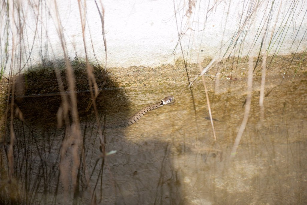 Stock Photo: 1747R-18781 Grass snake Natrix natrix in shallow water