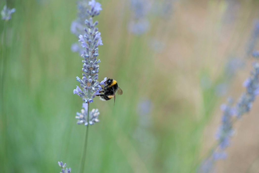 Stock Photo: 1747R-18792 Bumblebee perching on lavender flowers