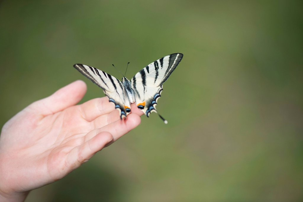 Stock Photo: 1747R-18796 Child holding zebra swallowtail butterfly in palm, cropped