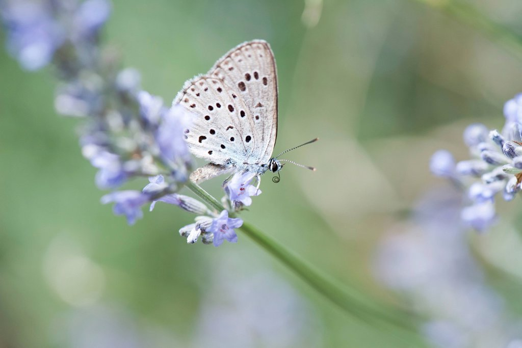 Lycaenidae butterfly on lavender flowers : Stock Photo