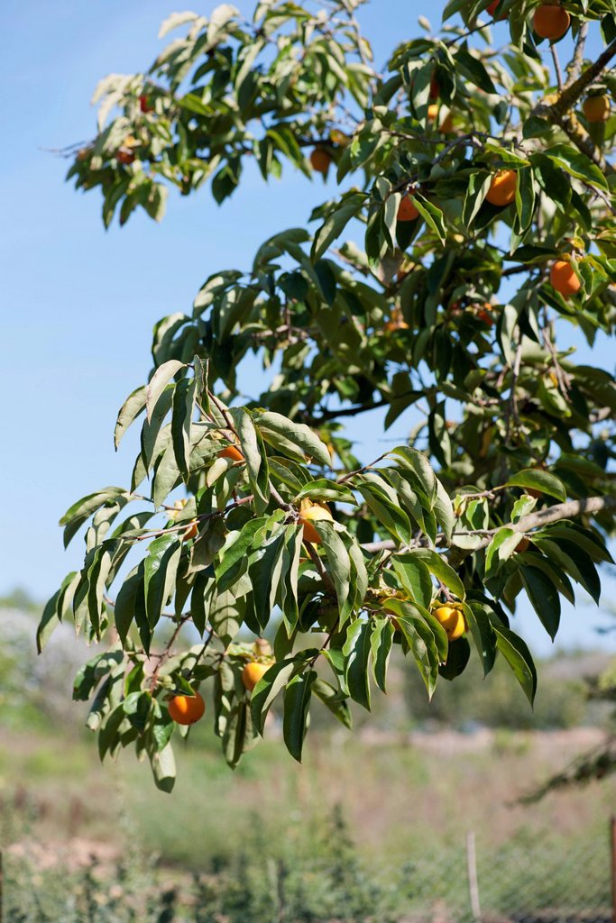 Stock Photo: 1747R-18810 Persimmon tree