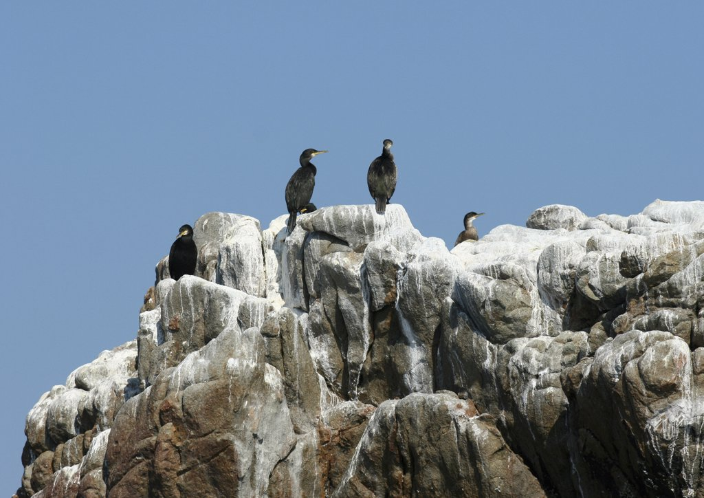 Ile de Brehat, Brittany, France, cormorants perched on rock formations : Stock Photo