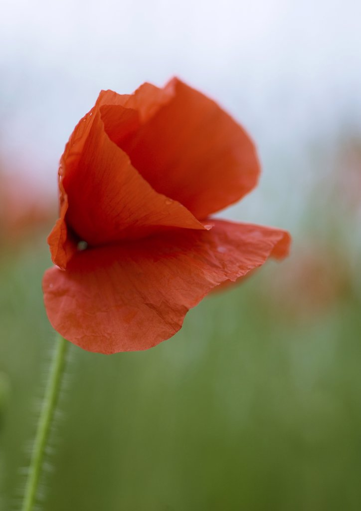 Stock Photo: 1747R-2796 Poppy