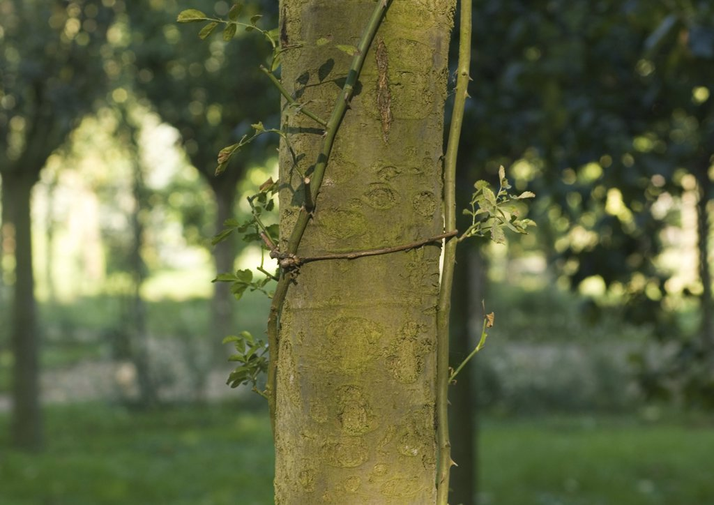 Vine growing up side of tree trunk : Stock Photo