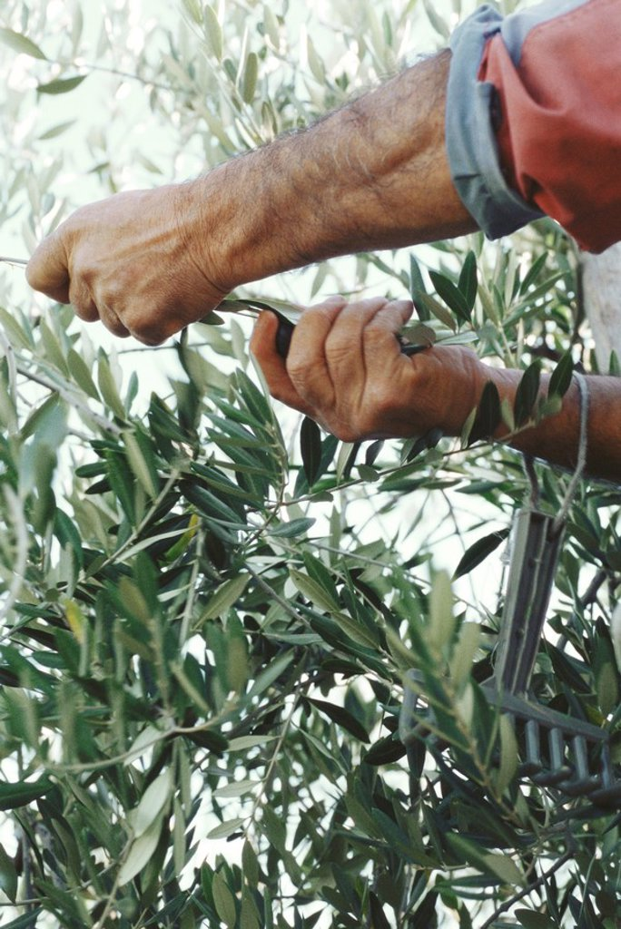 Olives being harvested : Stock Photo