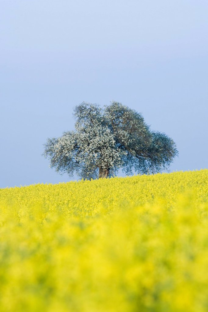 Field of canola and tree in bloom : Stock Photo