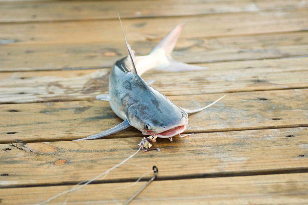Stock Photo: 1747R-7409 Fish on line lying on dock