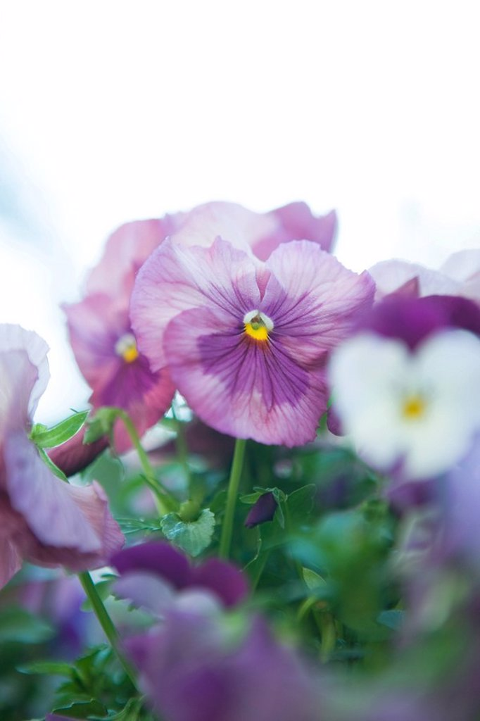 Pansies : Stock Photo