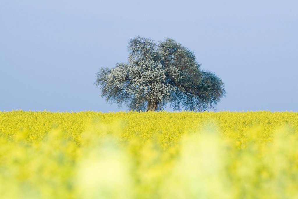 Stock Photo: 1747R-8425 Field of canola with tree in blossom