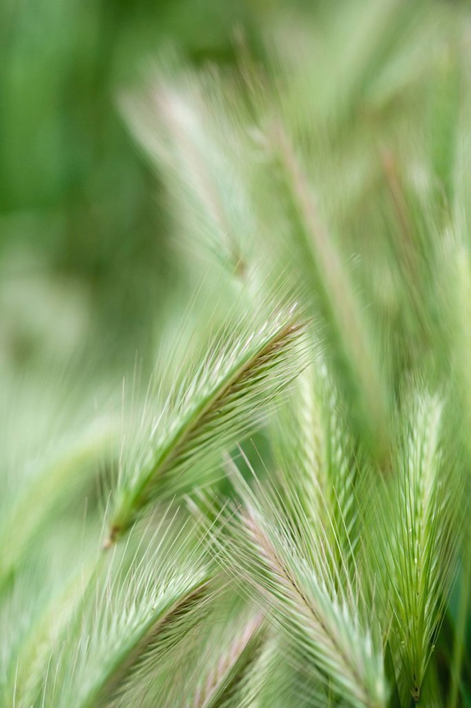 Green wheat, close-up : Stock Photo