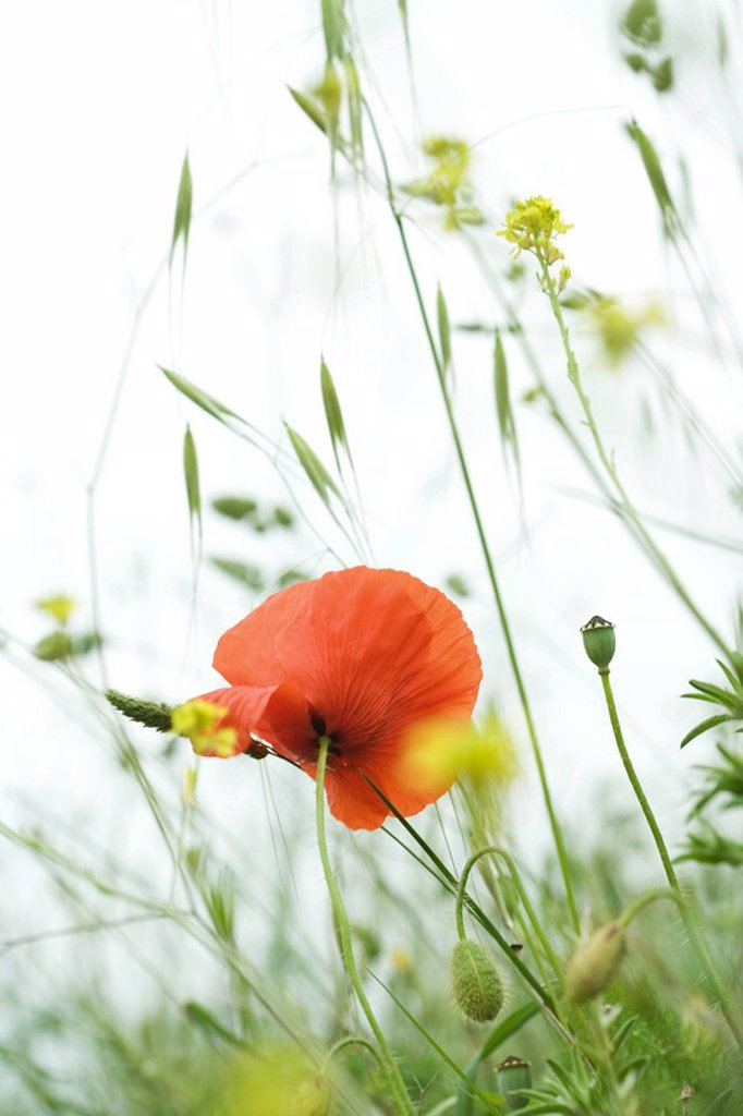 Poppy growing in field, close-up : Stock Photo