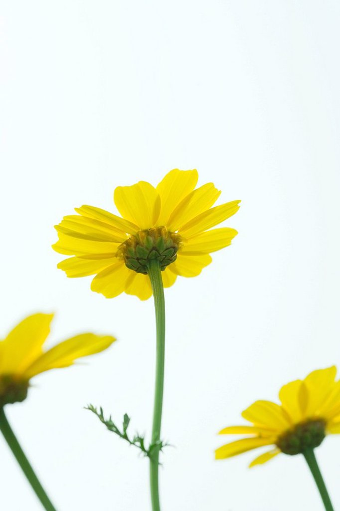 Stock Photo: 1747R-9043 Yellow flowers, low angle view