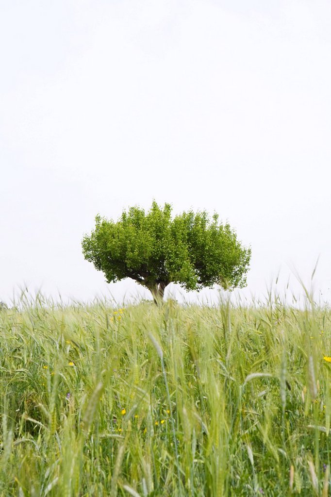 Lone tree growing in field : Stock Photo
