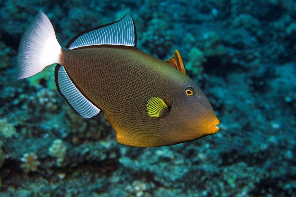 Hawaii, Maui, Pinktail Durgon, Melichthys vidua, also referred to as the Pinktail triggerfish. : Stock Photo