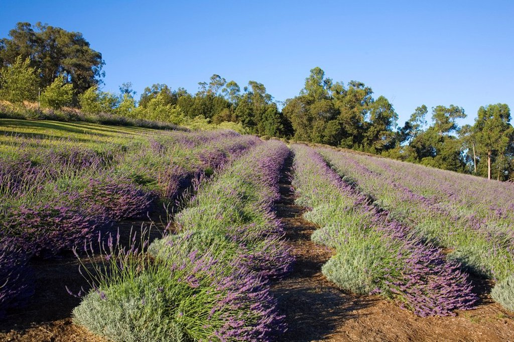 Hawaii, Maui, Ali´i Kula Lavendar Farm, lavendar field. : Stock Photo