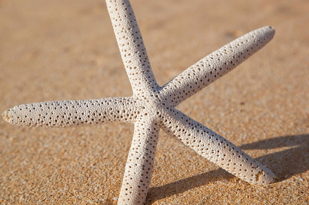 Hawaii, Maui, Makena, Starfish in the sand : Stock Photo
