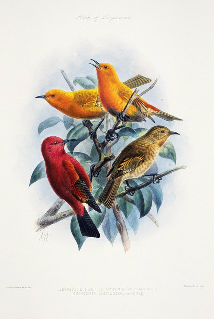 Hawaiian Vintage painting of Laysan Honeycreeper or Apapane Himatione sanguinea freethi. : Stock Photo
