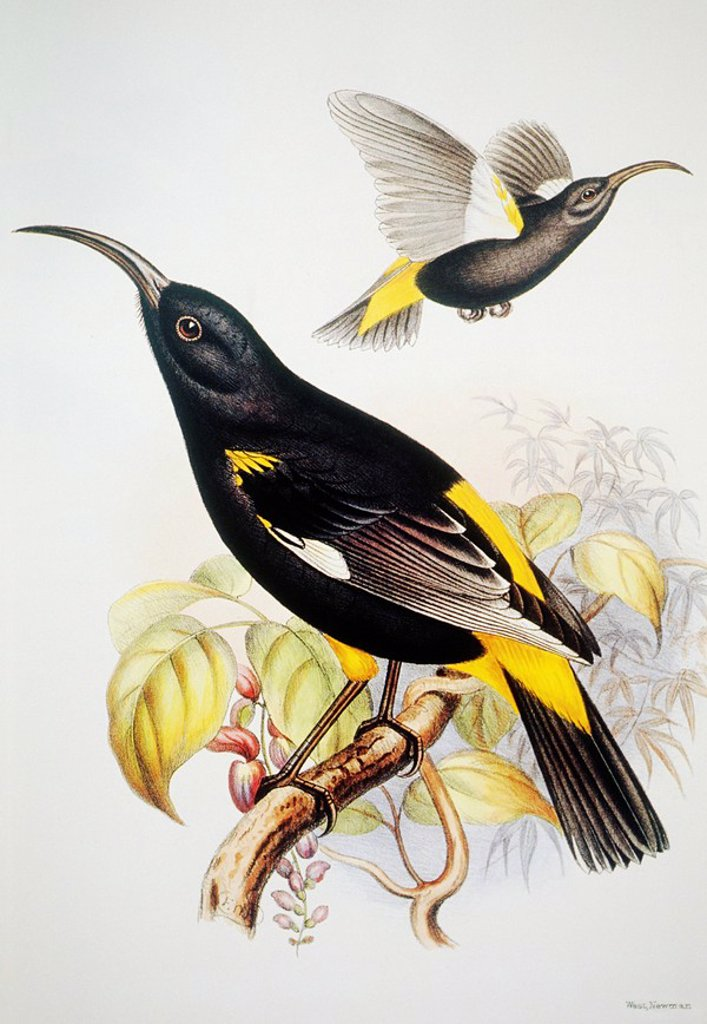 Stock Photo: 1760-13264 c. 1893_1900 Frederick Frohawk, Native Hawaiian Birds, Vintage painting of Hawaii Mamo Drepanis pacifica.